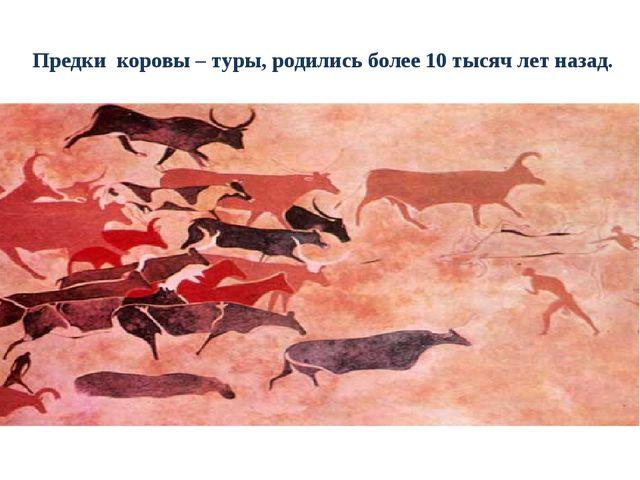 Предки коровы – туры, родились более 10 тысяч лет назад.