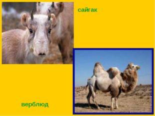 верблюд сайгак
