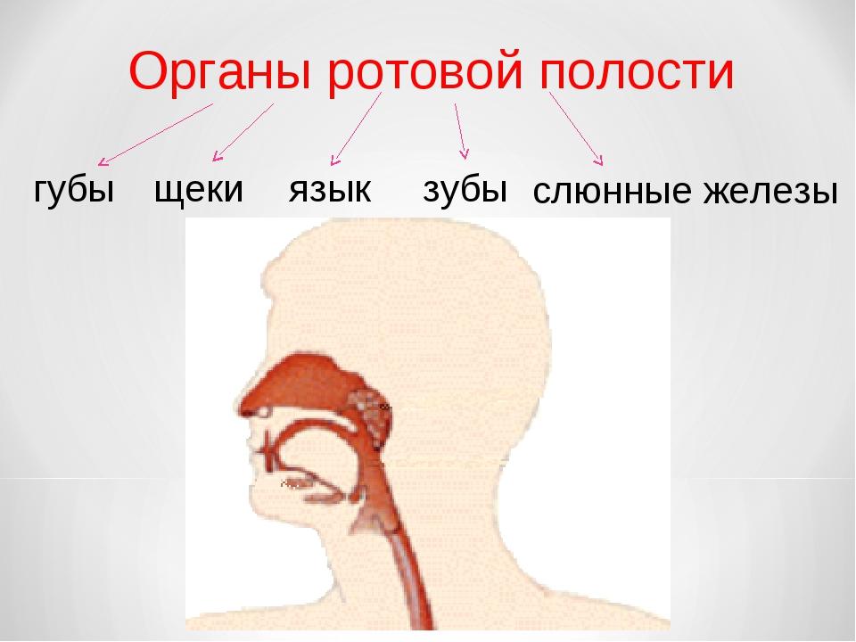 Органы ротовой полости губы щеки зубы язык слюнные железы