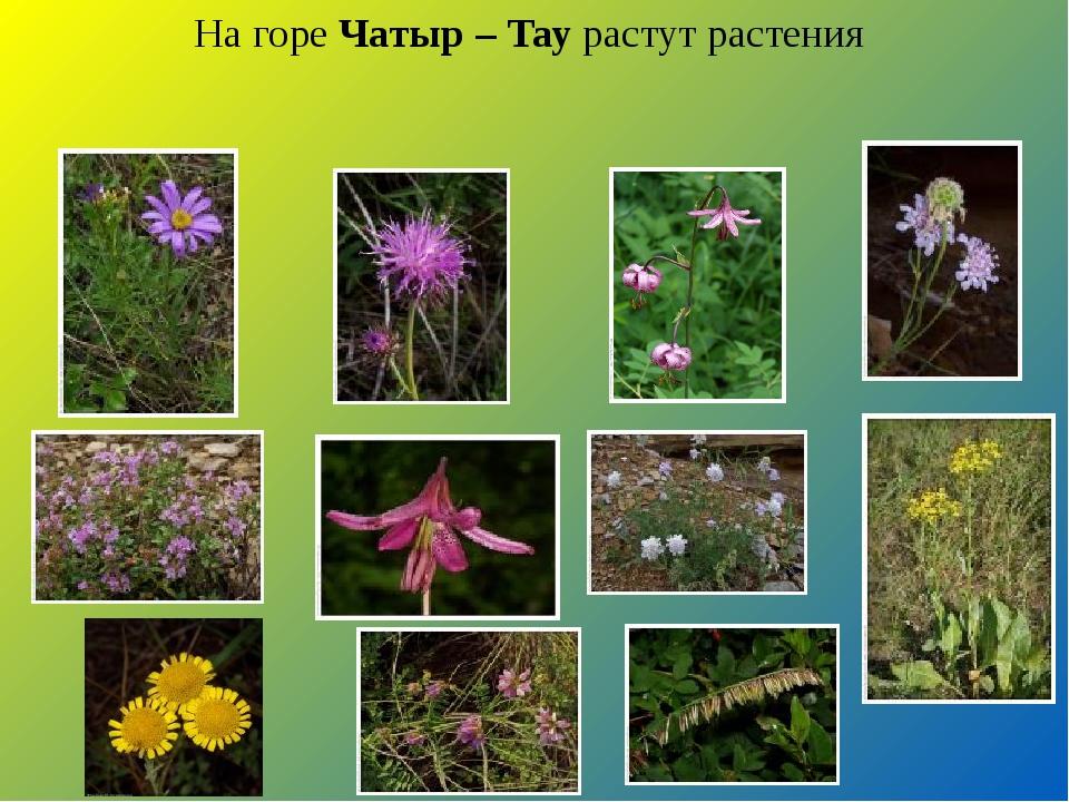 На горе Чатыр – Тау растут растения
