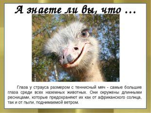 А знаете ли вы, что …  Глаза у страуса размером с теннисный мяч - самые боль