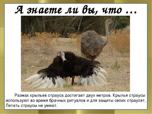 А знаете ли вы, что …  Размах крыльев страуса достигает двух метров. Крылья...