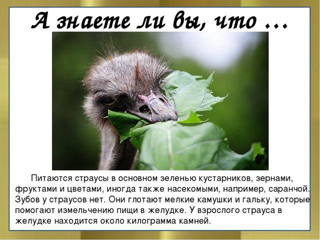 А знаете ли вы, что … Питаются страусы в основном зеленью кустарников, зерна...