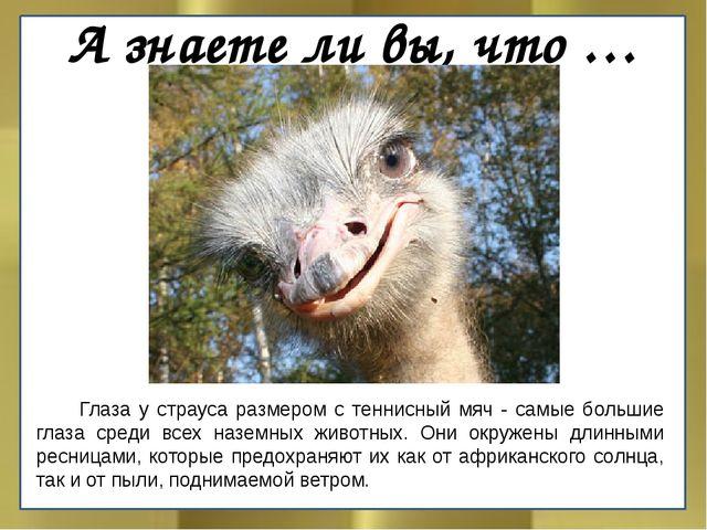 А знаете ли вы, что …  Глаза у страуса размером с теннисный мяч - самые боль...