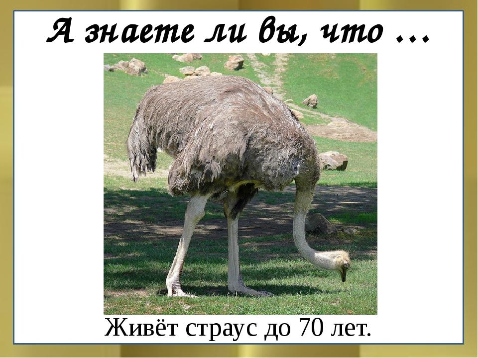 Живёт страус до 70 лет. А знаете ли вы, что …