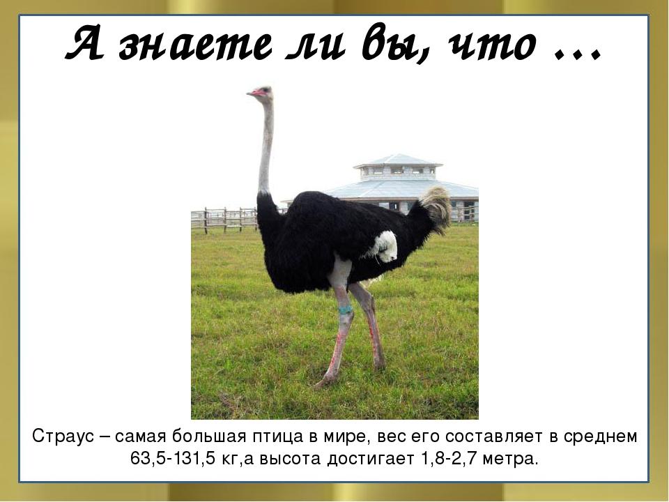 А знаете ли вы, что … Страус – самая большая птица в мире, вес его составляет...