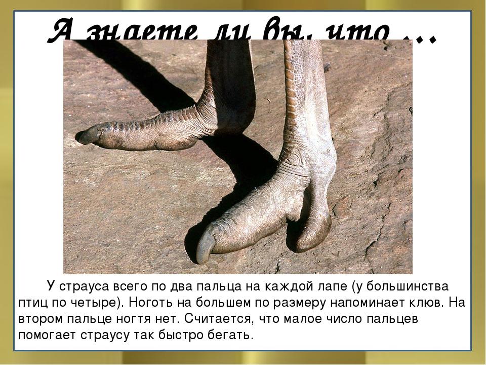 А знаете ли вы, что …  У страуса всего по два пальца на каждой лапе (у больш...