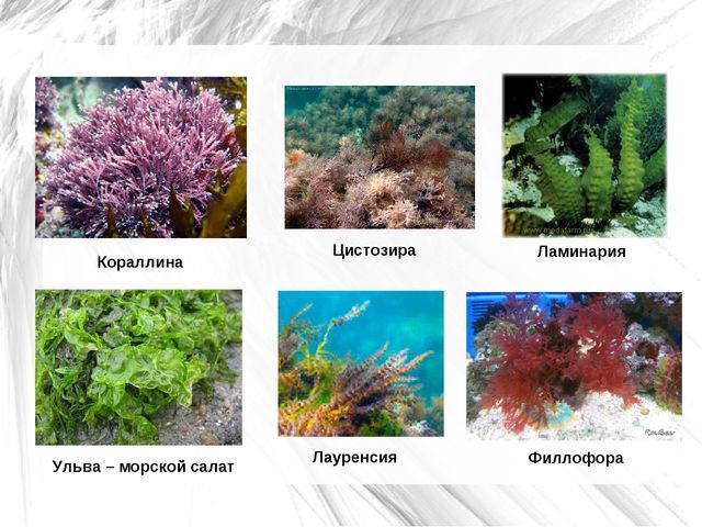 Кораллина Лауренсия Ульва – морской салат Цистозира Филлофора Ламинария