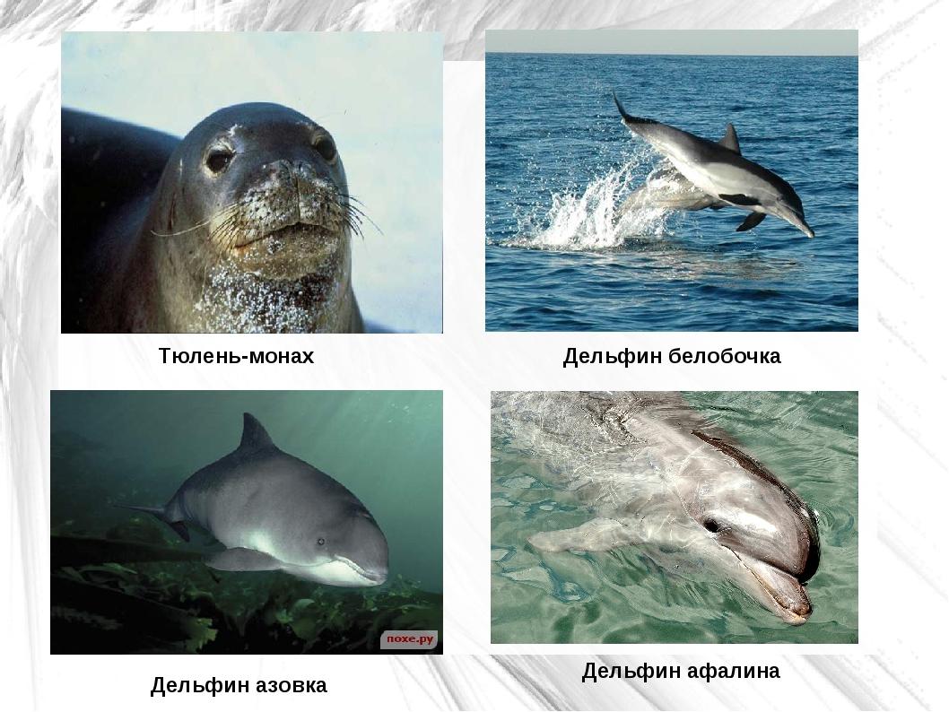 Тюлень-монах Дельфин афалина Дельфин азовка Дельфин белобочка