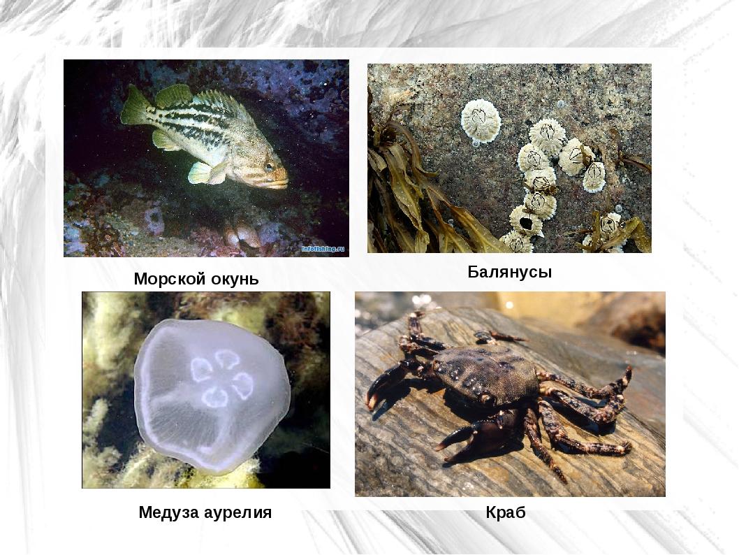 Морской окунь Краб Медуза аурелия Балянусы
