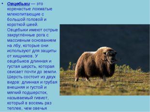 Овцебыки— это коренастые лохматыемлекопитающиес большой головой и короткой