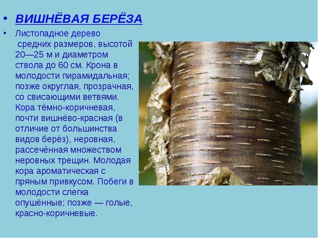 ВИШНЁВАЯ БЕРЁЗА Листопадноедеревосредних размеров, высотой 20—25м и диамет...