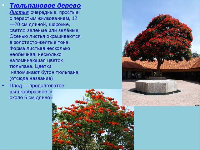 Тюльпановое дерево Листьяочередные, простые, с перистым жилкованием, 12—20с...