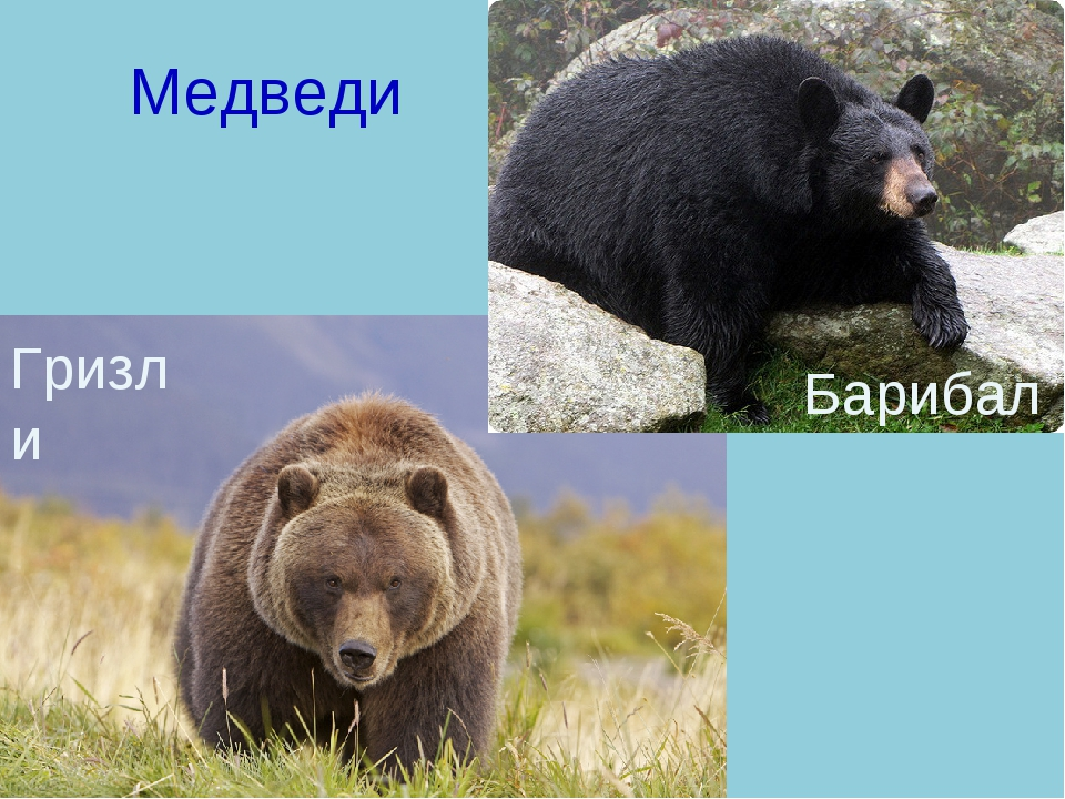 Медведи Гризли Барибал