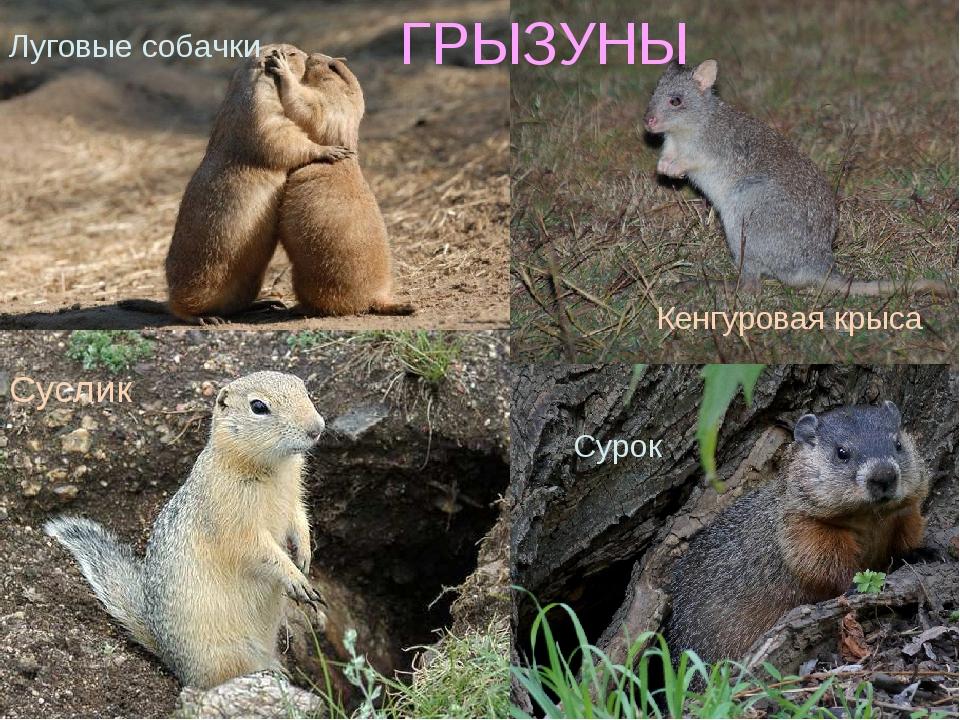 Луговые собачки Сурок Суслик Кенгуровая крыса ГРЫЗУНЫ