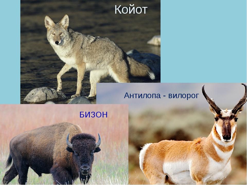 Койот Антилопа - вилорог БИЗОН