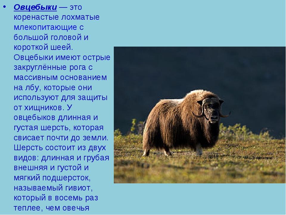 Овцебыки— это коренастые лохматыемлекопитающиес большой головой и короткой...