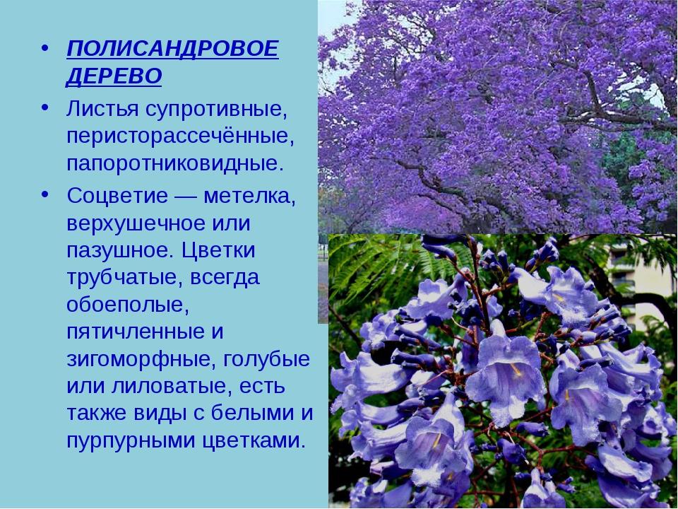 ПОЛИСАНДРОВОЕ ДЕРЕВО Листья супротивные, перисторассечённые, папоротниковидны...