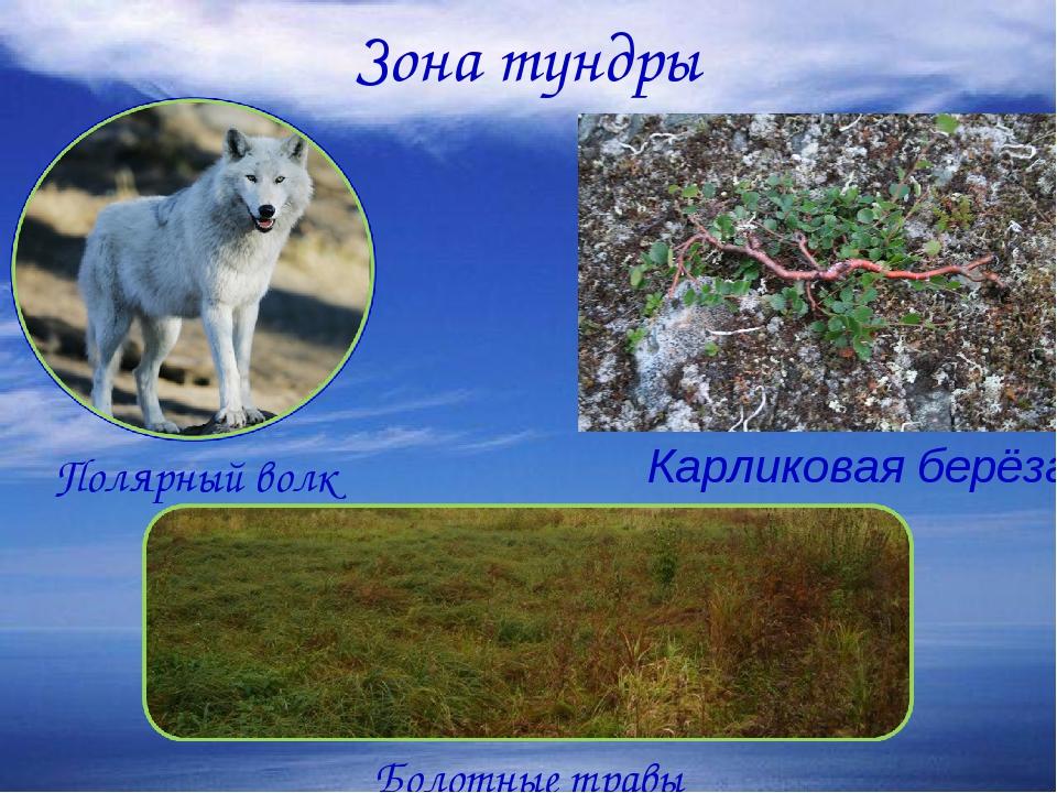 Зона тундры Полярный волк Болотные травы Карликовая берёза