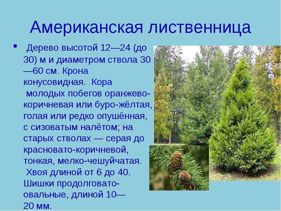Американская лиственница Дерево высотой 12—24 (до 30) м и диаметромствола30...