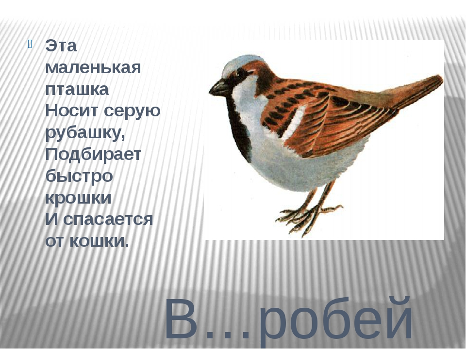 В…робей Эта маленькая пташка Носит серую рубашку, Подбирает быстро крошки И...