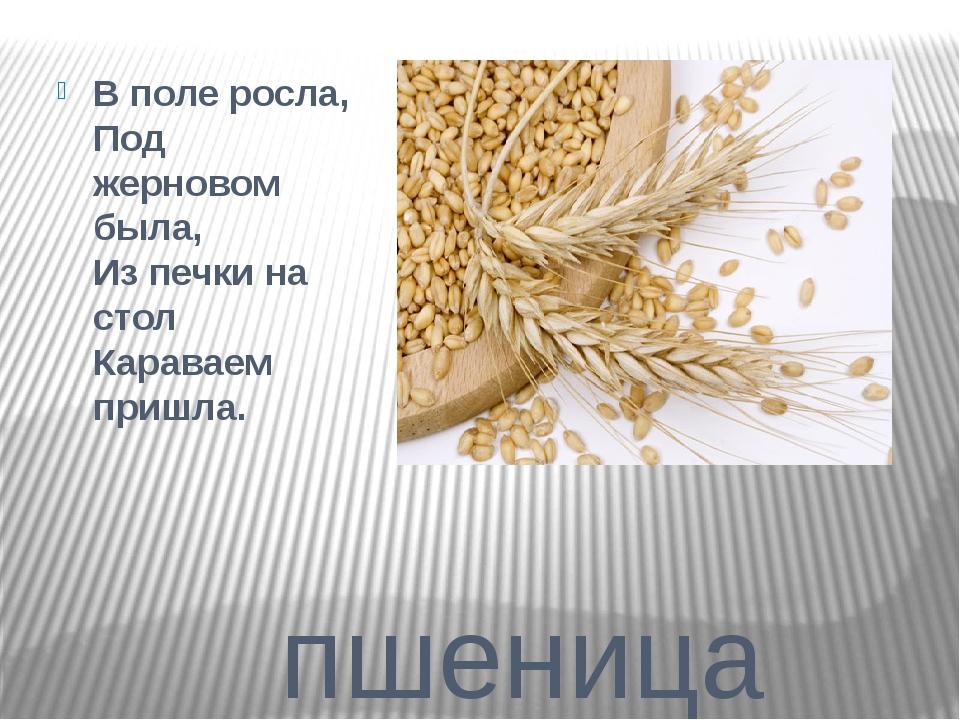 пшеница В поле росла, Под жерновом была, Из печки на стол Караваем пришла.