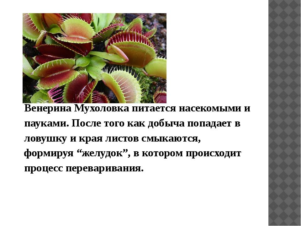 Венерина Мухоловка питается насекомыми и пауками. После того как добыча попа...