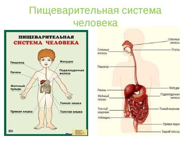 Пищеварительная система человека