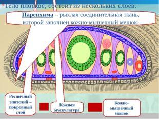 Ресничный эпителий – покровный слой Кожная мускулатура Кожно-мышечный мешок П