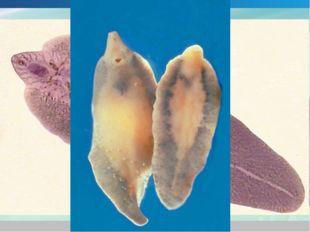 Класс Сосальщики Паразитируют во внутренних органах позвоночных животных и че
