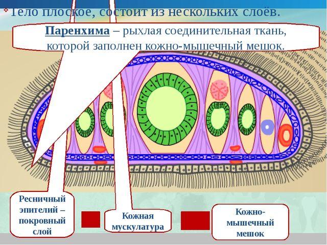 Ресничный эпителий – покровный слой Кожная мускулатура Кожно-мышечный мешок П...