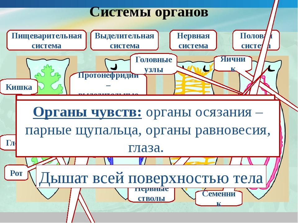 Системы органов Пищеварительная система Рот Глотка Кишка Выделительная систем...