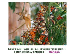 Бабочка-монарх осенью собираются в стаи и летят к местам зимовок Причины?