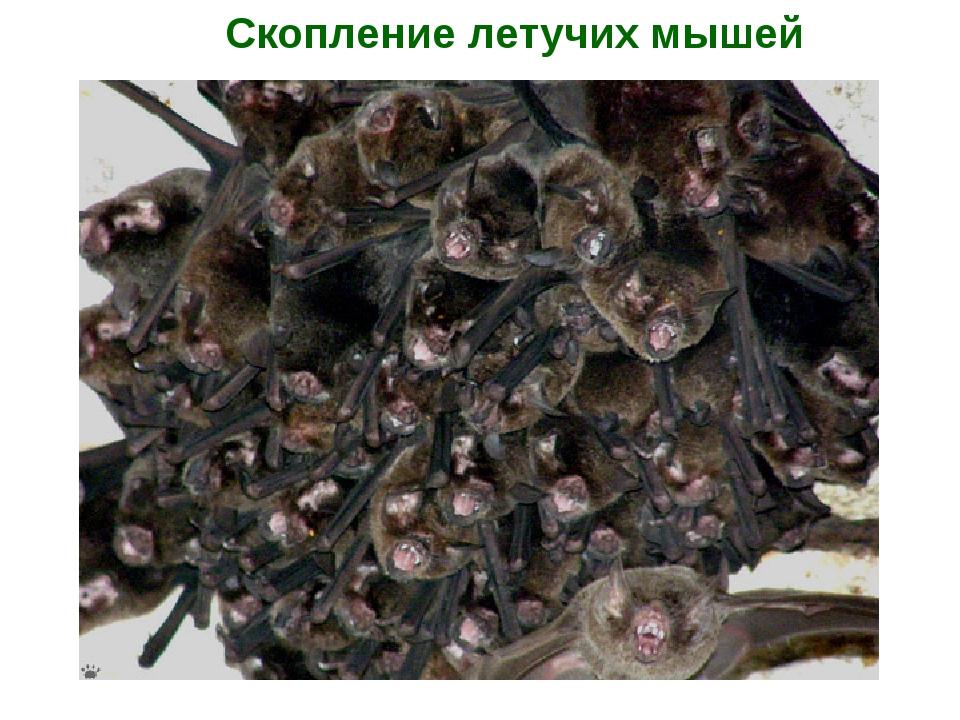 Скопление летучих мышей
