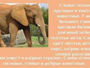Слоны́ са́мые кру́пные и тяжёлые живо́тные. У них больши́е у́ши, кре́пкие би́