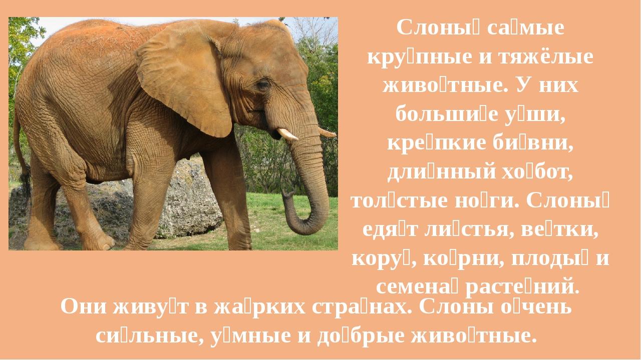 Слоны́ са́мые кру́пные и тяжёлые живо́тные. У них больши́е у́ши, кре́пкие би́...