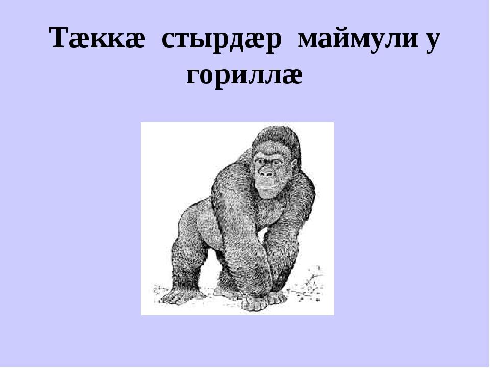 Тæккæ стырдæр маймули у гориллæ