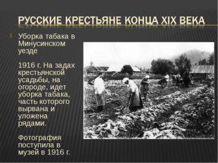 Уборка табака в Минусинском уезде 1916 г. На задах крестьянской усадьбы, на о