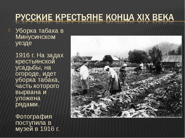 Уборка табака в Минусинском уезде 1916 г. На задах крестьянской усадьбы, на о...