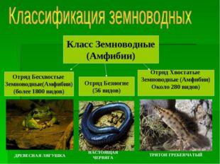 Класс Земноводные (Амфибии) Отряд Бесхвостые Земноводные(Амфибии) (более 1800