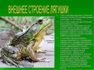Тело лягушки короткое, большая плоская голова без резких границ переходит в т