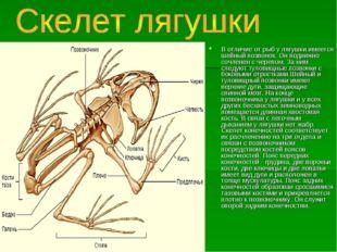 В отличие от рыб у лягушки имеется шейный позвонок. Он подвижно сочленен с че