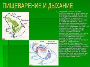 Пищеварительная система земноводных имеет почти такое же строение, как у рыб.