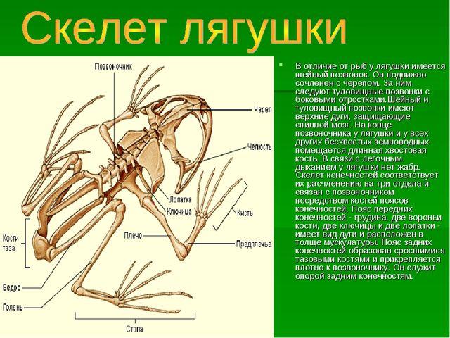 В отличие от рыб у лягушки имеется шейный позвонок. Он подвижно сочленен с че...
