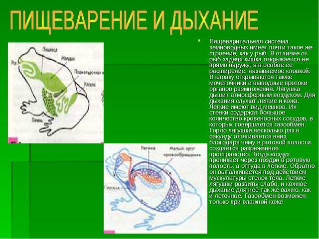 Пищеварительная система земноводных имеет почти такое же строение, как у рыб....