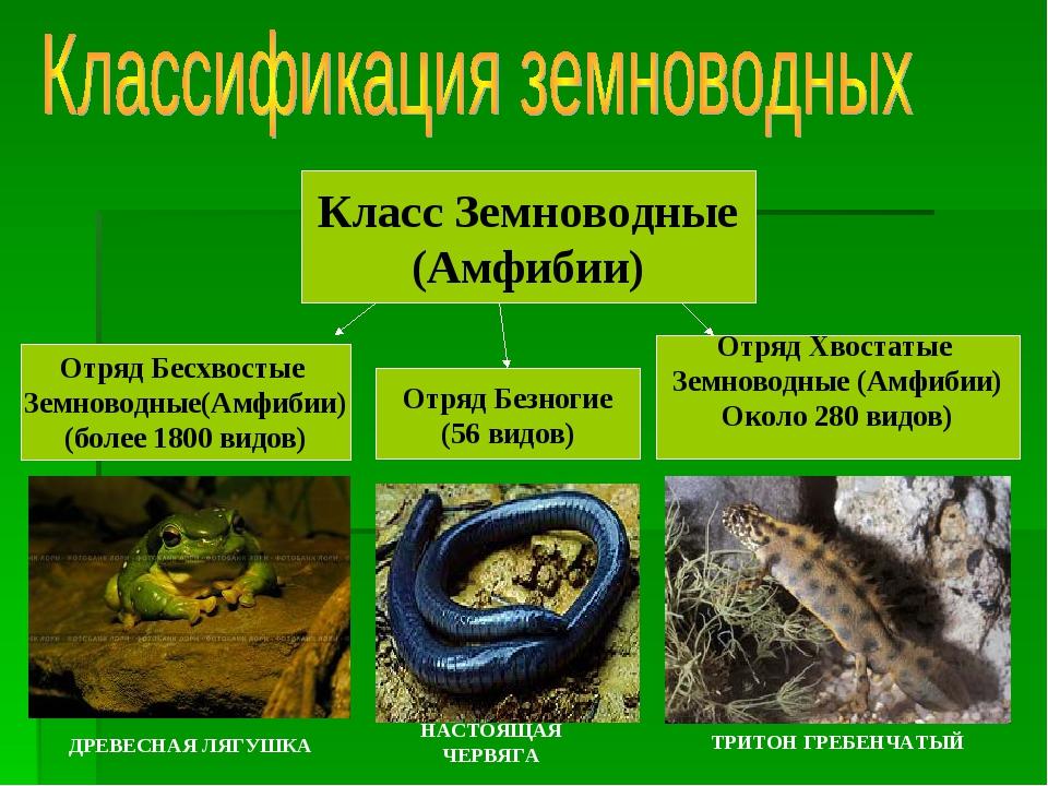 Класс Земноводные (Амфибии) Отряд Бесхвостые Земноводные(Амфибии) (более 1800...