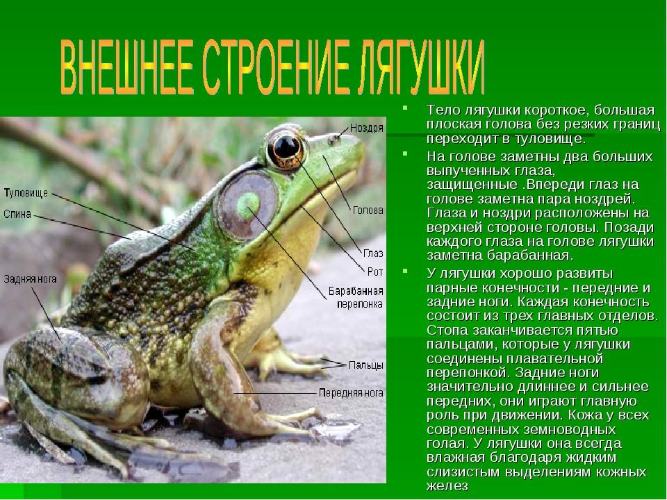 Тело лягушки короткое, большая плоская голова без резких границ переходит в т...