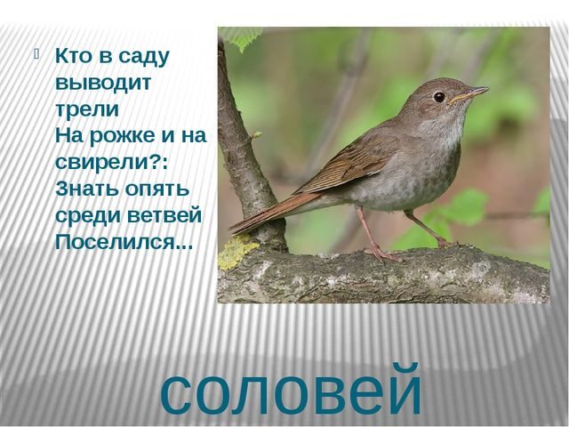 соловей Кто в саду выводит трели На рожке и на свирели?: Знать опять среди ве...