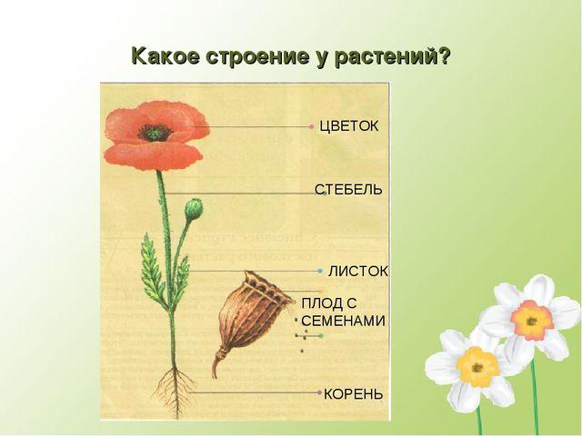 Какое строение у растений? ЦВЕТОК СТЕБЕЛЬ ЛИСТОК ПЛОД С СЕМЕНАМИ КОРЕНЬ