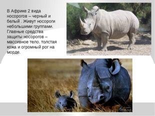 В Африке 2 вида носорогов – черный и белый . Живут носороги небольшими группа